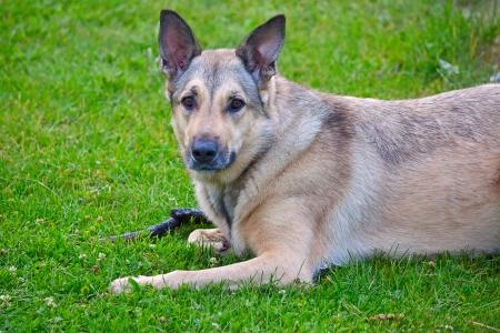large dog: Large dog (Shepherd) closeup, lying on the grass.
