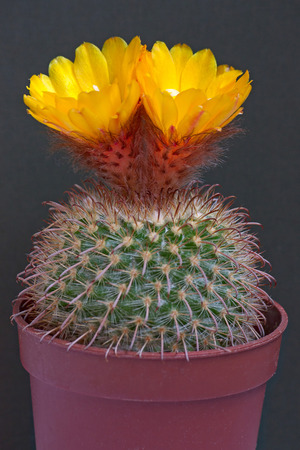 cactus flower: Cactus flowers  on dark  background. Stock Photo