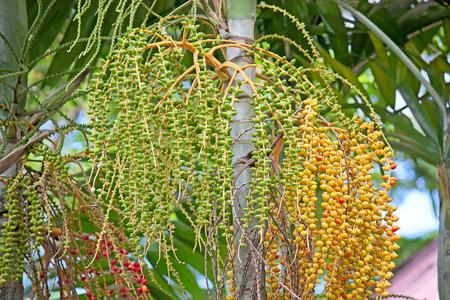 areca: Areca palm fruit close up on a tree.