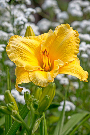 daylily: Yellow daylily flower close-up. Stock Photo