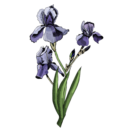 Hand drawn sketch of colored iris flowers with leaves on white background illustration. Иллюстрация