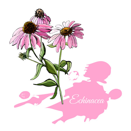 Hand drawn and colored sketch with echinacea flowers isolated on white background. Vector illustration.
