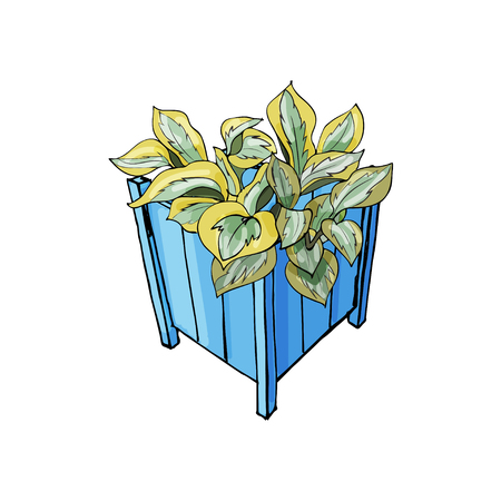 Blue garden pots with hosta flower. Hand drawn and colored sketch isolated on white background. Vector illustration.