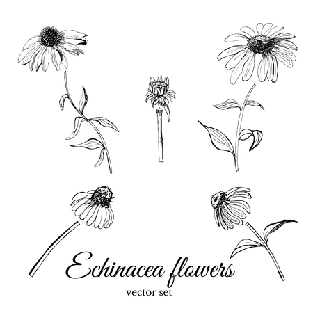Set with hand drawn graphic  sketch of  summer flowers echinacea with leaves and bud.Vector illustration.