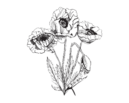Hand drawn graphic sketch of bouquet poppy flowers