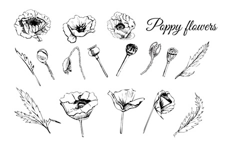 Set hand drawn graphic sketch of poppy flowers, buds and leaves vector illustration. Фото со стока - 100442386