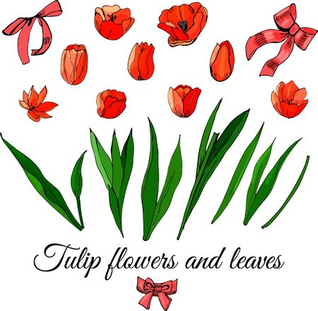 Set hand drawn colored  sketch with tulip flowers, leaves and bows isolated on white  background. Vector illustration.