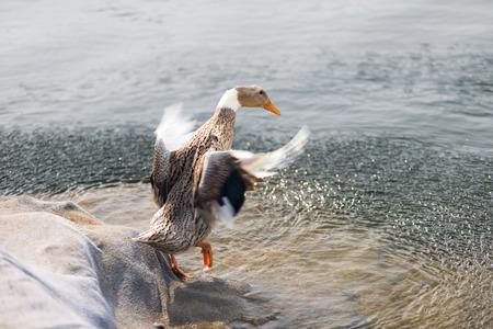 vivo: Flower duck swimming Stock Photo
