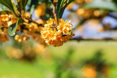 Osmanthus mûrs dans le jardin en automne Banque d'images