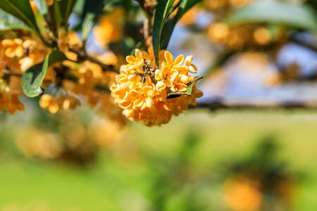 Ripe osmanthus in the garden in autumn
