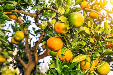 Ripe oranges in autumn orchard