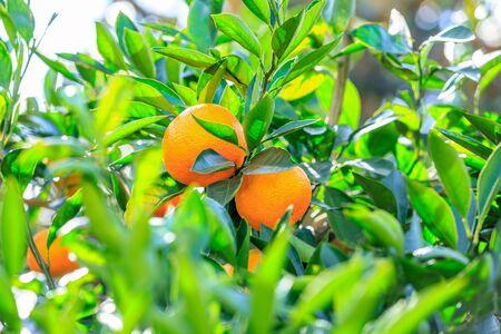 Delicious oranges in autumn orchard Stockfoto