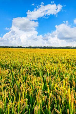 Reisanbau auf dem Feld im Herbst