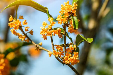 Sweet osmanthus flowers in the garden