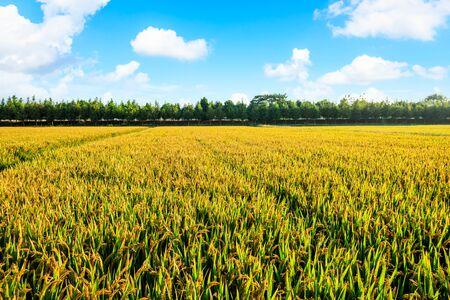 La culture du riz sur le terrain en automne Banque d'images
