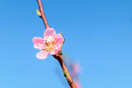 Peach blossom in a garden 版權商用圖片