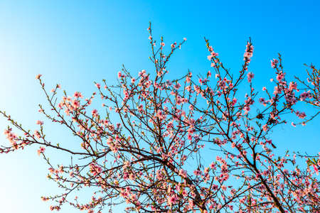 Peach blossoms in a garden 版權商用圖片
