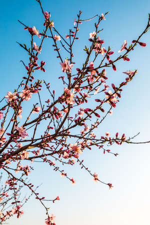 Peach blossoms blooming in the spring garden, China