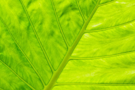 asymmetry: Green banana leaf background texture