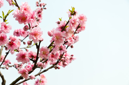 Pink peach blossom in full bloom in the spring 免版税图像