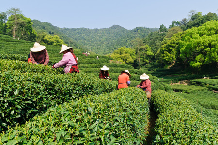 Hangzhou west lake longjing tea plantations, China Stock Photo