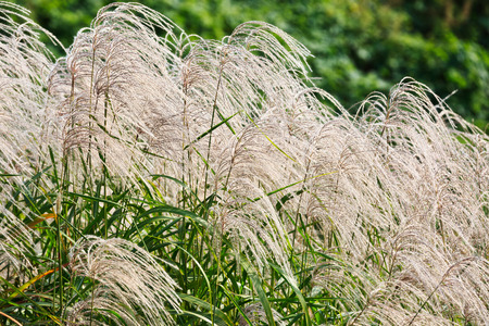 bullrush: Reed flowers in full bloom