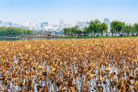 turbidity: Hangzhou west lake withered lotus leaf in autumn
