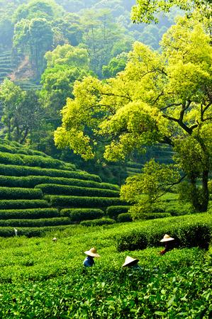 杭州西湖龍井茶プランテーション、中国で