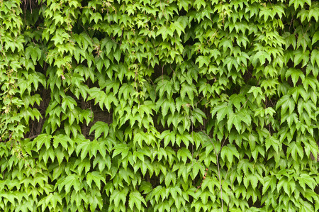 ivy league: Green Boston ivy plant background
