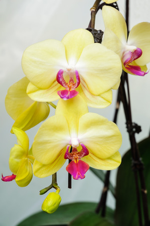 yellow orchid: Blooming yellow orchid background