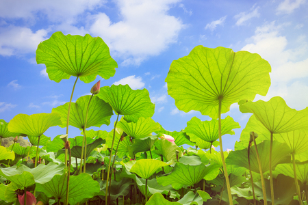 jardines con flores: lotus leaves Foto de archivo