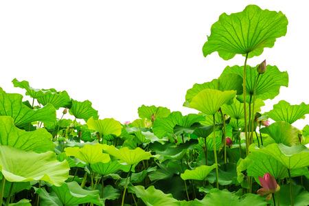 pink lotus: lotus leaves Stock Photo