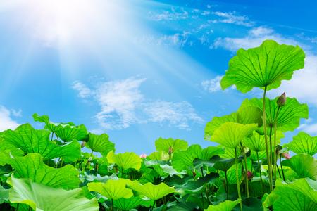 lotus Banco de Imagens - 45150896