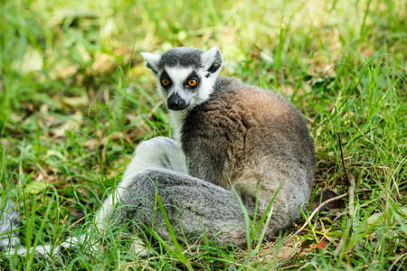 omnivore animal: Lovely ring-tailed lemur close up