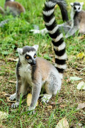 monkies: Lovely ring-tailed lemur close up