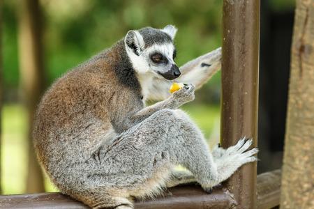 monkies: lovely Ring-tailed lemur