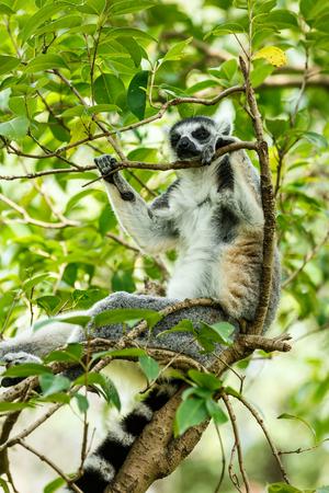 monkies: Ring-tailed lemur sleeping in the tree