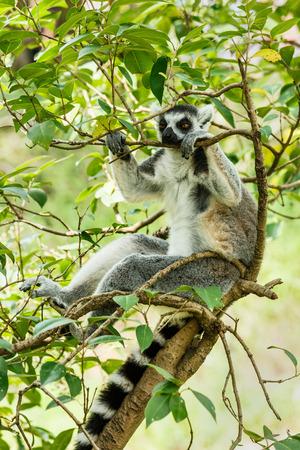 omnivore animal: Ring-tailed lemur sleeping in the tree