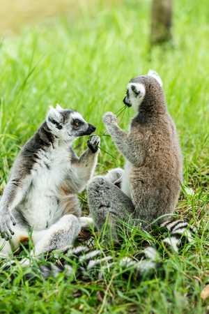 omnivore animal: ring-tailed lemur family on the grass Stock Photo
