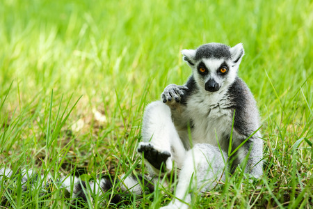 zoologico: familia lemur de cola anillada en la hierba