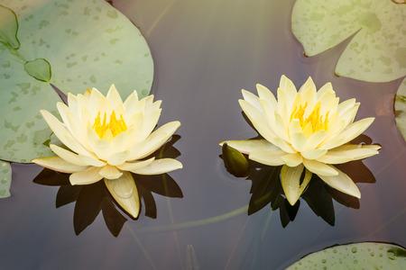 nenuphar: Beautiful waterlily or lotus flower blooming in the pond