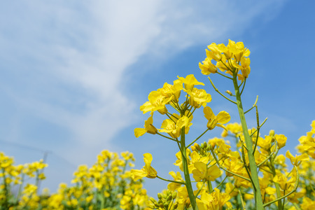 coleseed: Yellow canola flowers bloom in farmland
