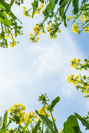 yellow: Yellow canola flowers bloom in farmland