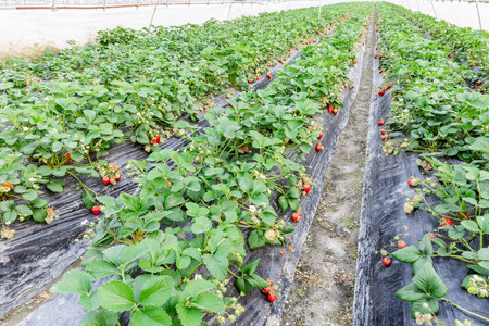 rural economy: Ripe strawberry fruit grows in the plantation