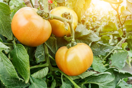 greenhouses: Ripe tomatoes grown in greenhouses Stock Photo