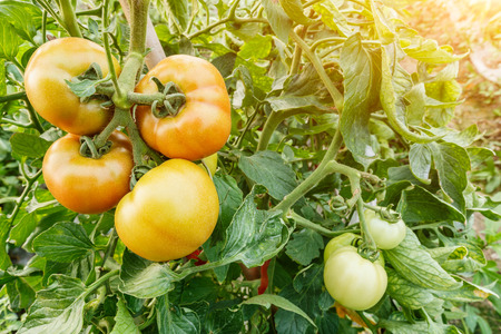 greenhouses: Fresh tomatoes grown in greenhouses