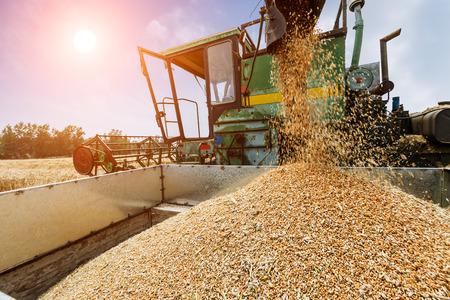 unloading: Combine harvester unloading grain in a wheat field