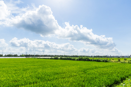 paddy fields: Rural green paddy fields under a blue sky and white clouds