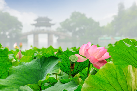 turismo ecologico: Hangzhou west lake Lotus in full bloom in a misty morning