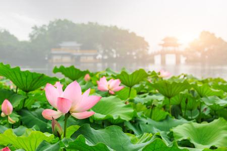 Hangzhou west lake Lotus in full bloom in a misty morning